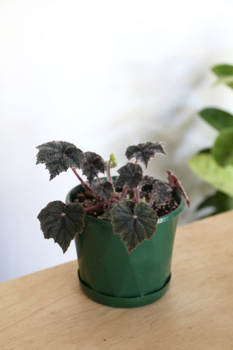Begonia 'Bill Morris' - PICK UP / LOCAL DELIVERY ONLY