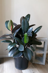Ficus Elastica 'Burgandy' - PICK UP / LOCAL DELIVERY ONLY