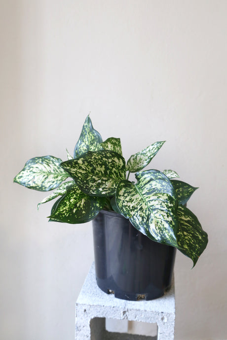 Aglaonema Hybrid 'White' - PICK UP / LOCAL DELIVERY ONLY