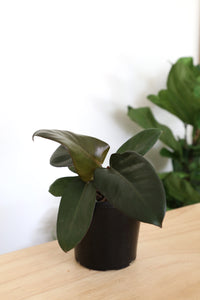 Philodendron Erubescens 'Black Cardinal'