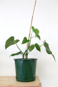 Philodendron jacquinii - PICK UP / LOCAL DELIVERY ONLY