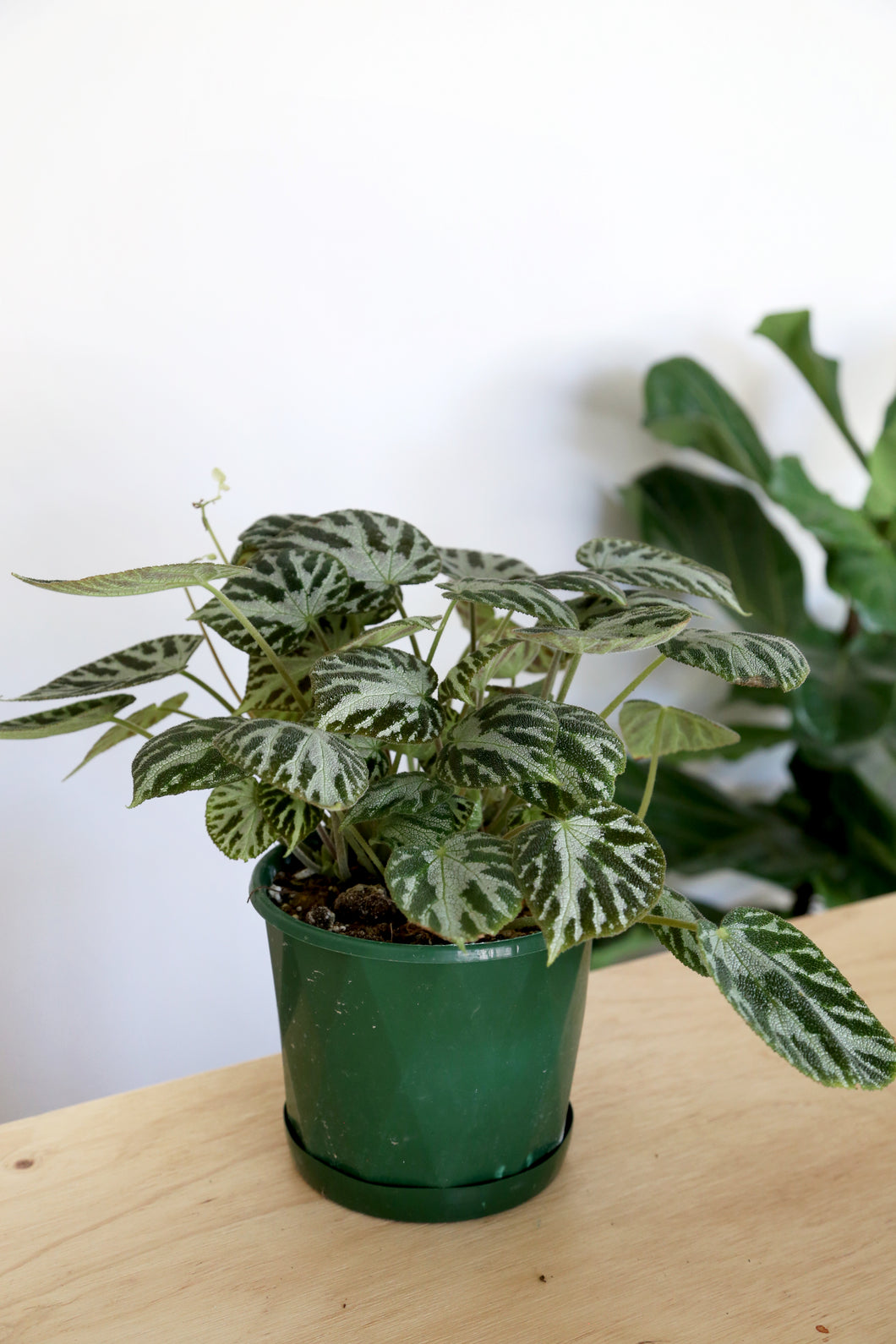 Begonia 'Silver Jewel' - PICK UP / LOCAL DELIVERY ONLY