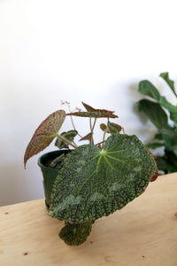 Begonia Sizemoreae - PICK UP / LOCAL DELIVERY ONLY
