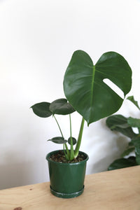 Monstera Deliciosa - Large - PICK UP / LOCAL DELIVERY ONLY