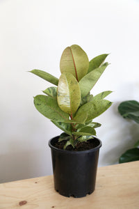 Ficus Elastica 'Shivereana' - PICK UP / LOCAL DELIVERY ONLY