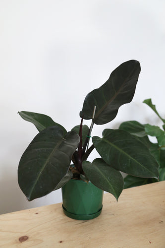 Philodendron Erubescens  'Black Cardinal' - Large - PICK UP / LOCAL DELIVERY ONLY