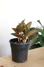 Aglaonema Hybrid - PICK UP / LOCAL DELIVERY ONLY