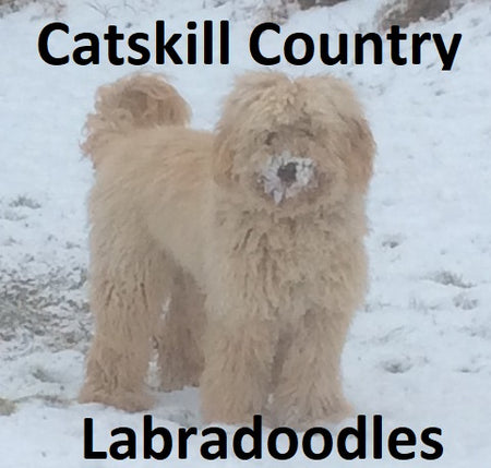 Catskill Country Labradoodles