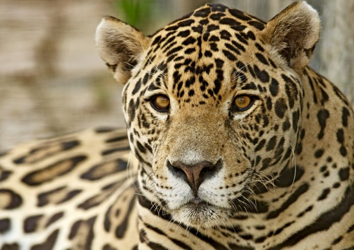 Breaking! World Animal Protection Undercover Investigation Exposes Illegal Trafficking Of Jaguar Parts To China