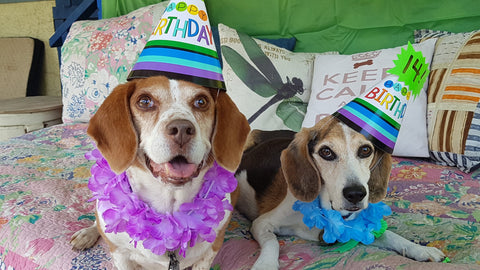 Two older beagle dogs, wearing paper birthday hats and Hawaiian leis.