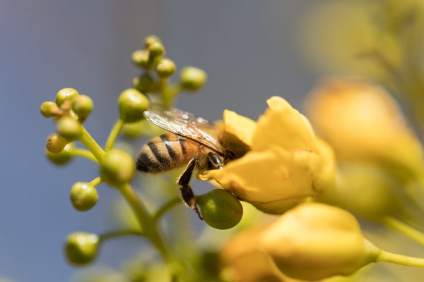 Forager bee - What's Raw Honey?