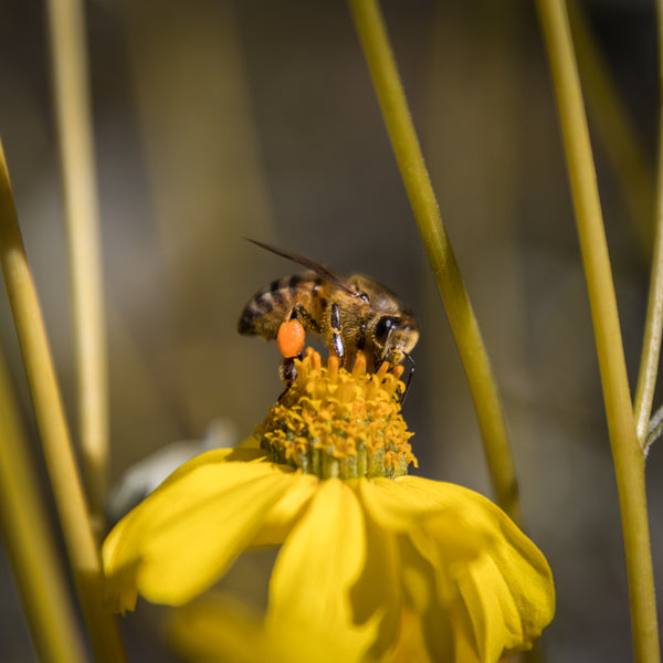 Bee carrying pollen and foraging for nectar