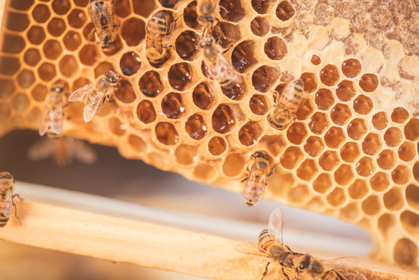 Honeybees and combs full of honey