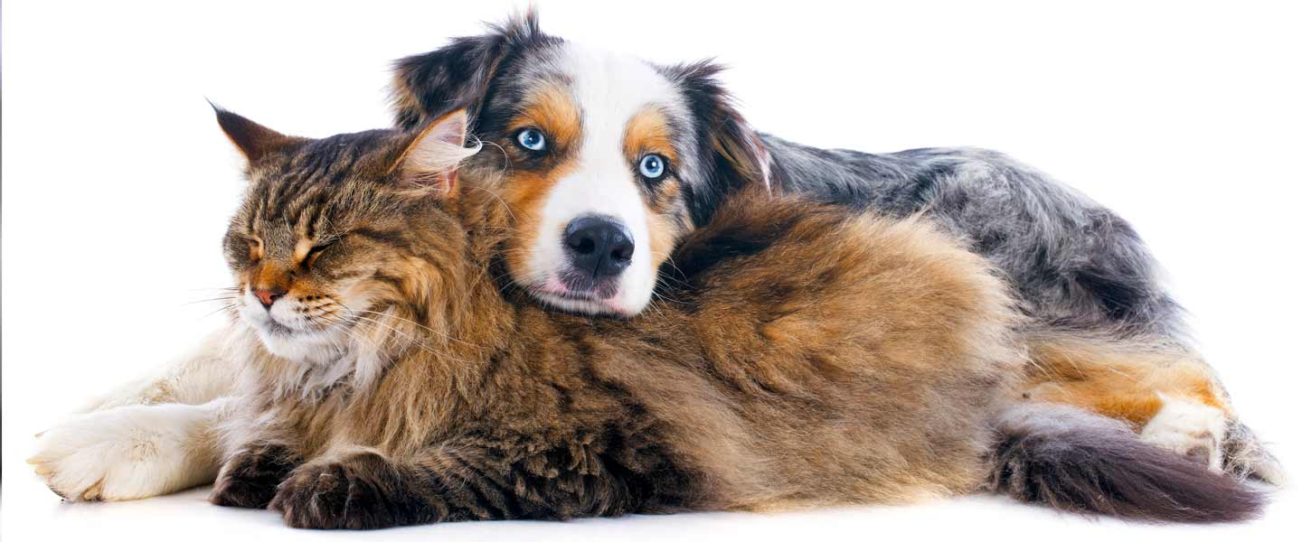 maine coon cat and australian shepherd