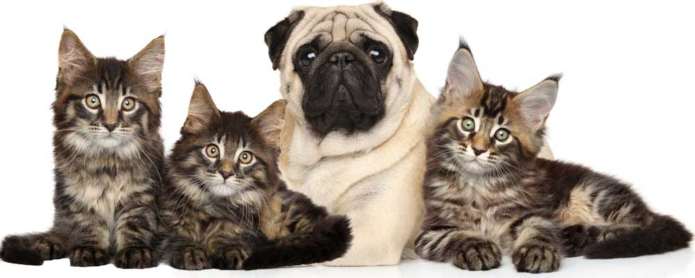 maine coon kittens and pug