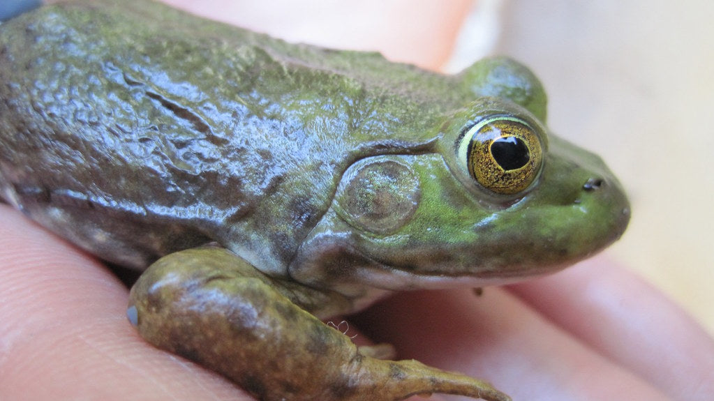 How to Care for Your American Bullfrog