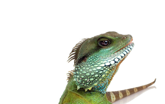 How to Care for Your Chinese Water Dragon