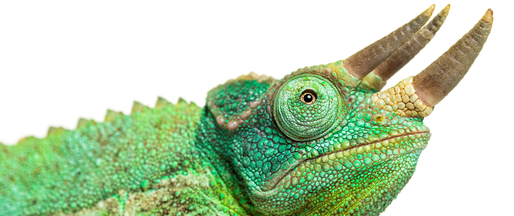 What Do Jackson's Chameleon Eat?