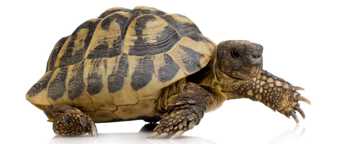 How to Care for Your Russian Tortoise