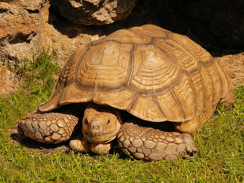 How to Care* for Your Sulcata Tortoise