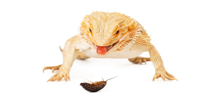 Best Feeder Insects For Bearded Dragons