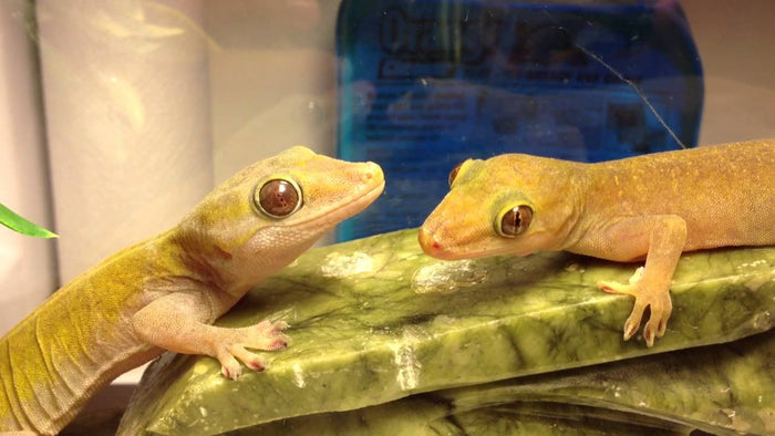 How to Care* for Your Golden Gecko