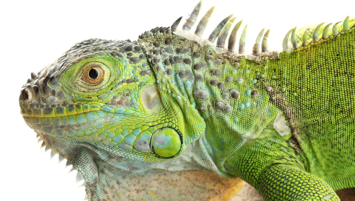 What Do I Feed My Green Iguana?