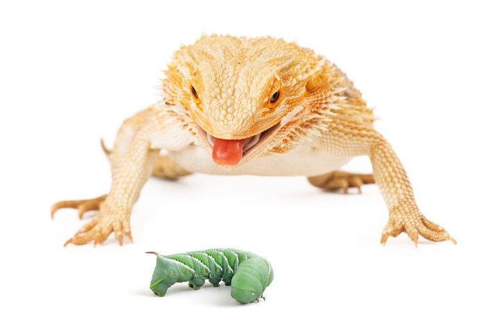 Signs Of A Healthy Bearded Dragon