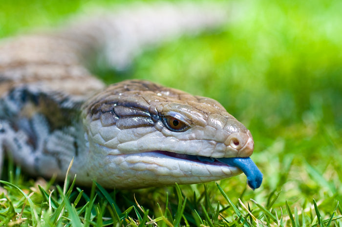 Can Blue Tongue Skinks Drop Their Tails?