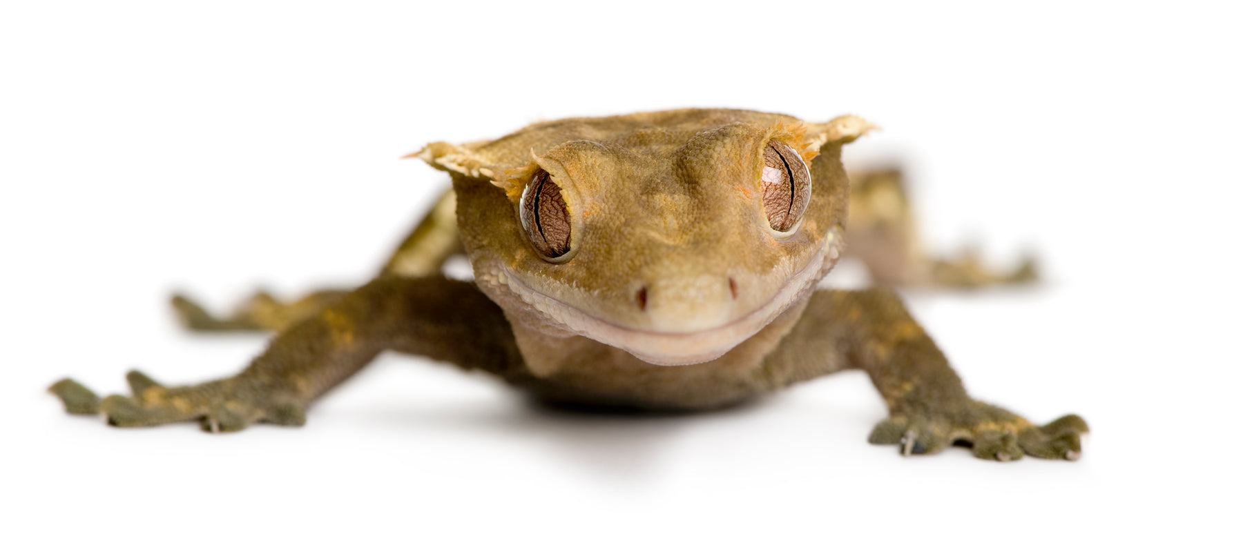 How to Care for Your Crested Gecko