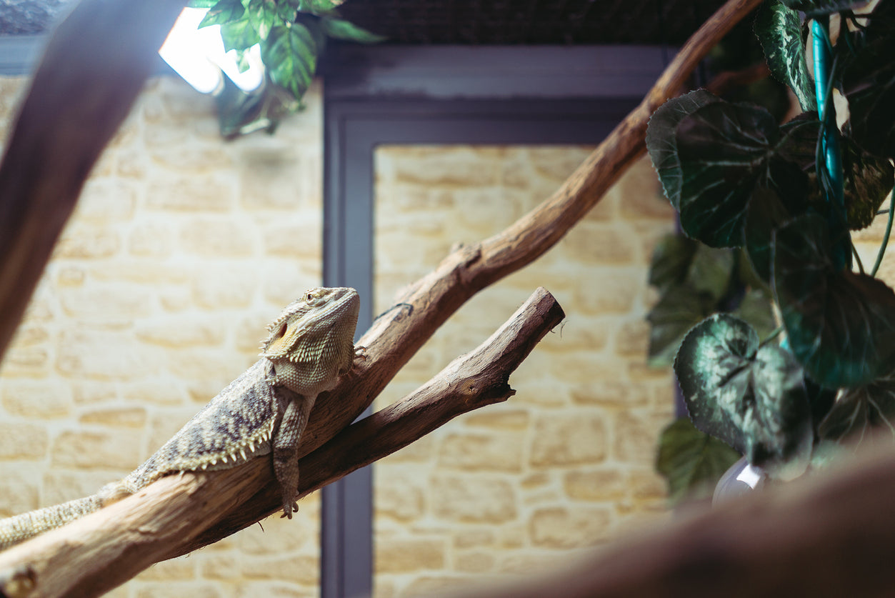 How to Care for Your Bearded Dragon