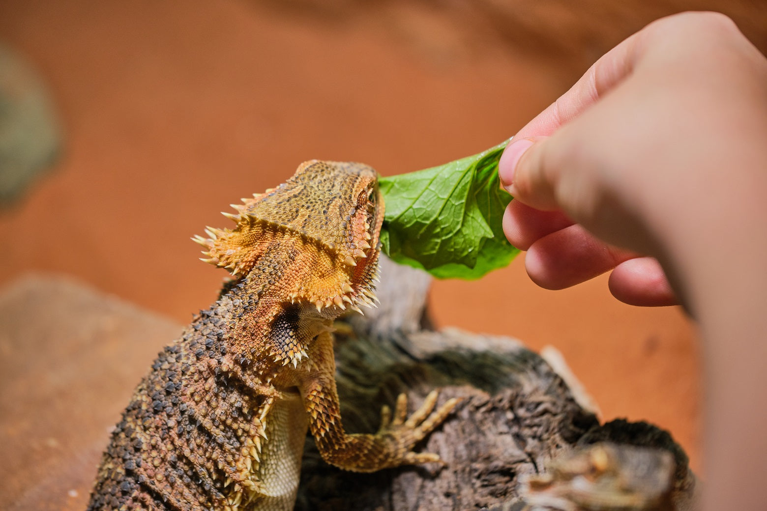 When Can a Bearded Dragon Eat Vegetables?