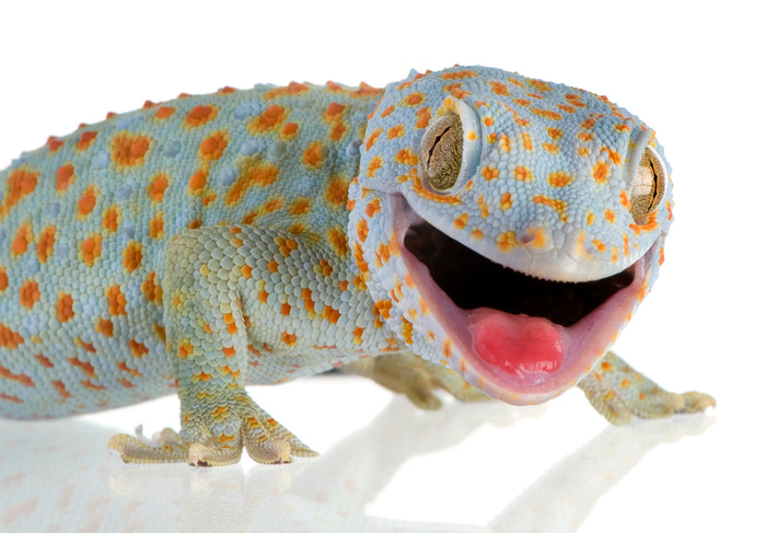 What Can My Tokay Gecko Eat?