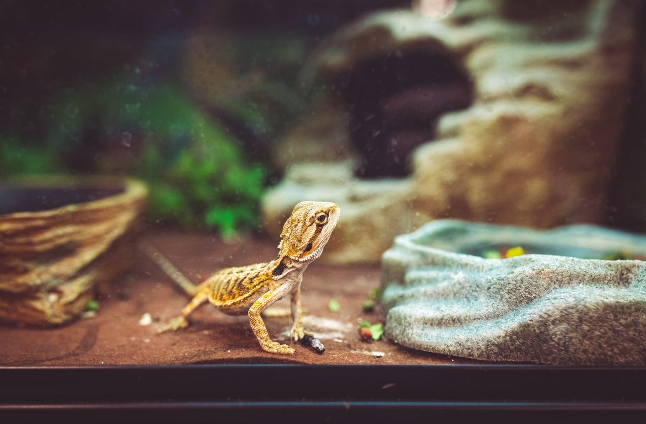 When to Feed Your Bearded Dragon