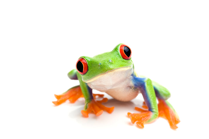 What Do Red Eyed & White Eyed Tree Frogs Eat?