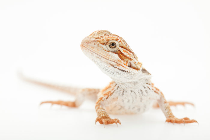 What Lighting Do I Need For My Bearded Dragon?