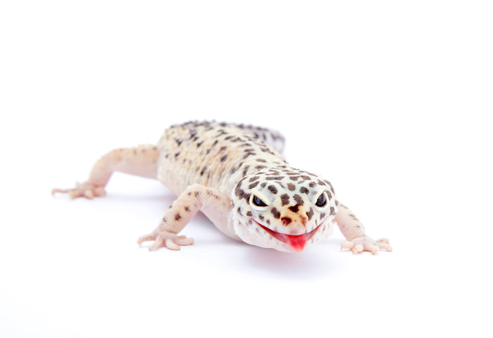 How Do I Know My Leopard Gecko is Healthy?