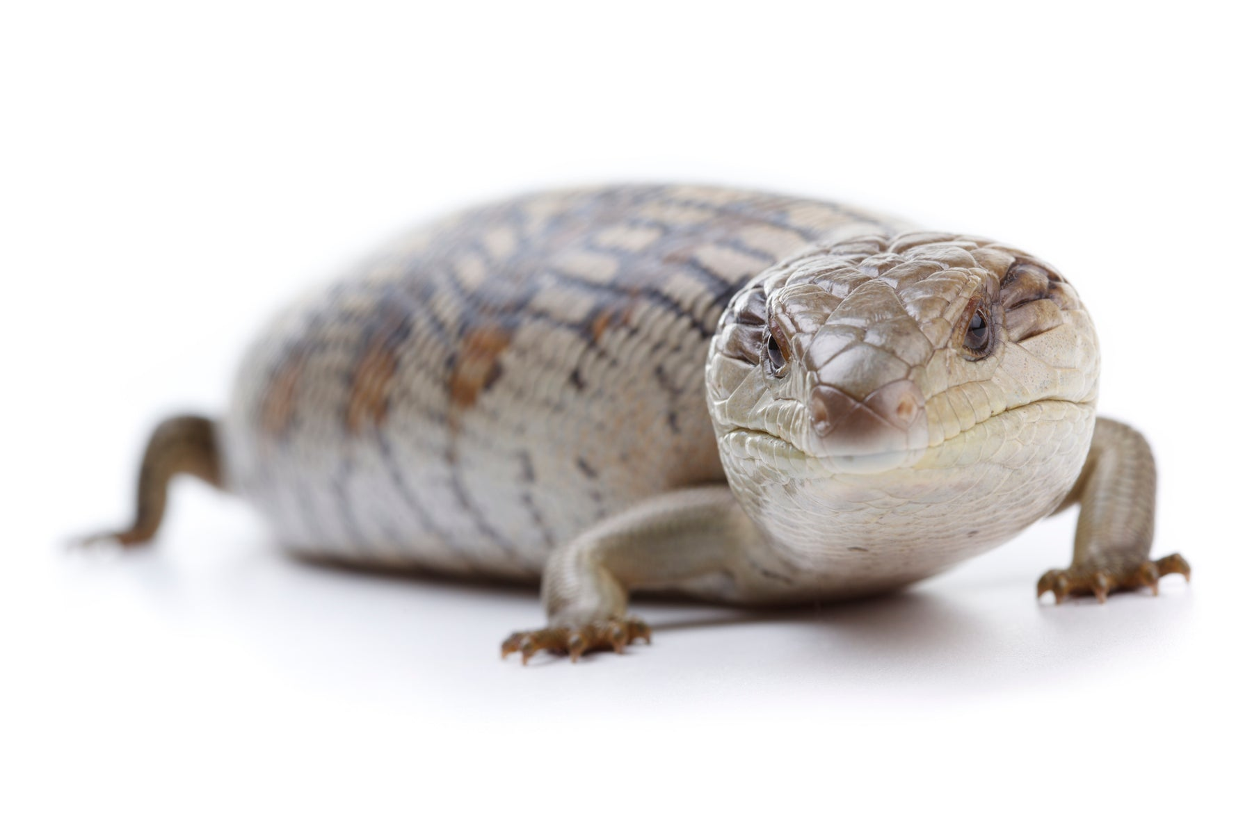 How to Care for Your Blue Tongue Skink