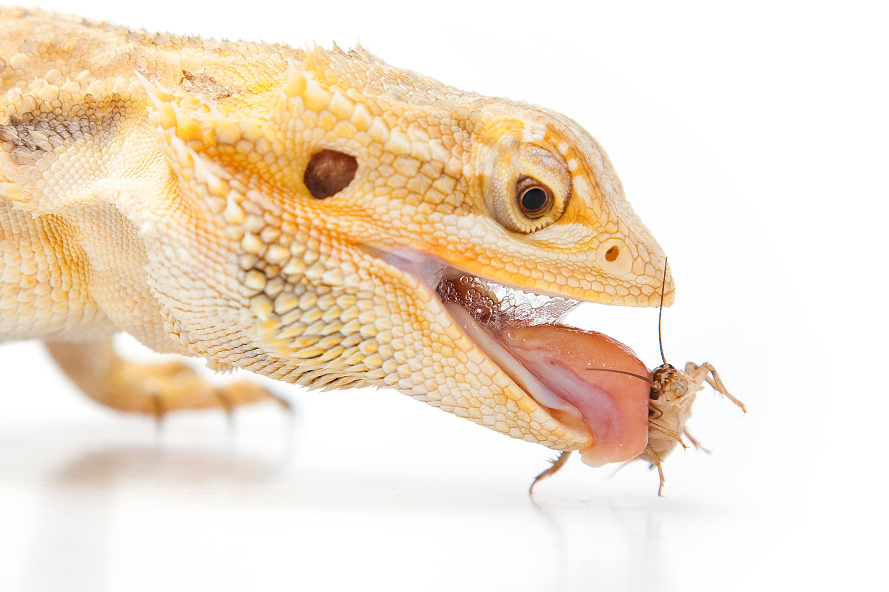 Can Bearded Dragons Eat Meat?