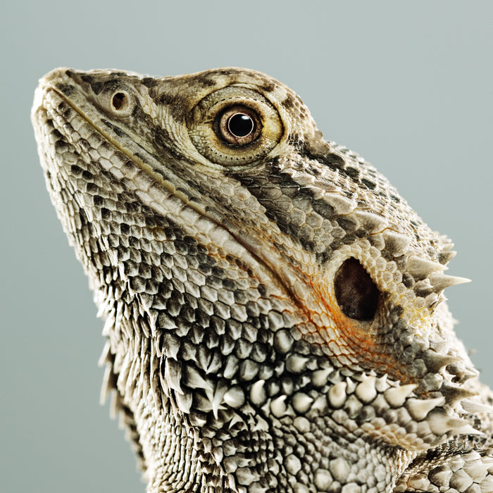 Can Bearded Dragons See Well?
