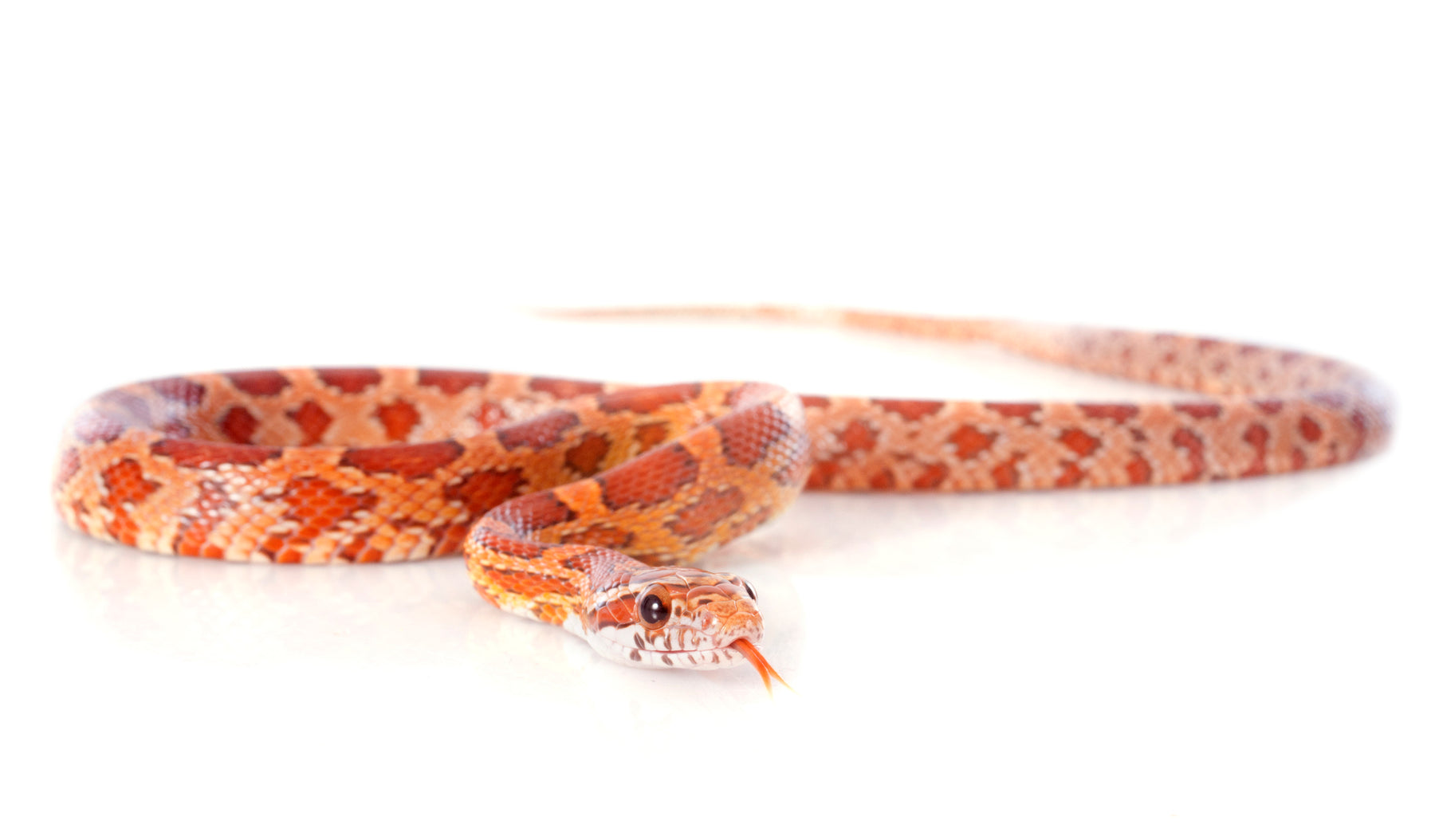 How to Care for Your Corn Snake