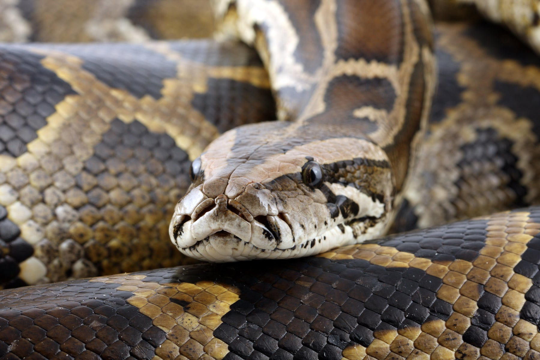 How to Care for Your Burmese Python