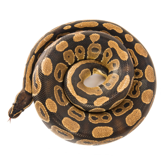 How to Care for Your Ball Python