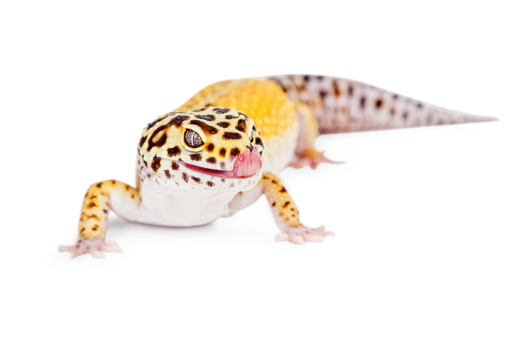 How Long Can Leopard Geckos Go Without Water?