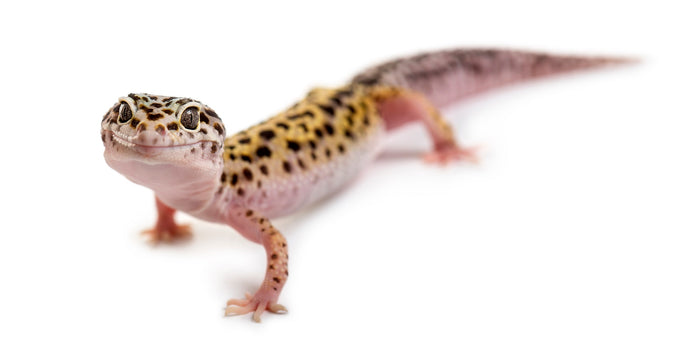 How Long Can Leopard Geckos Go without Food?