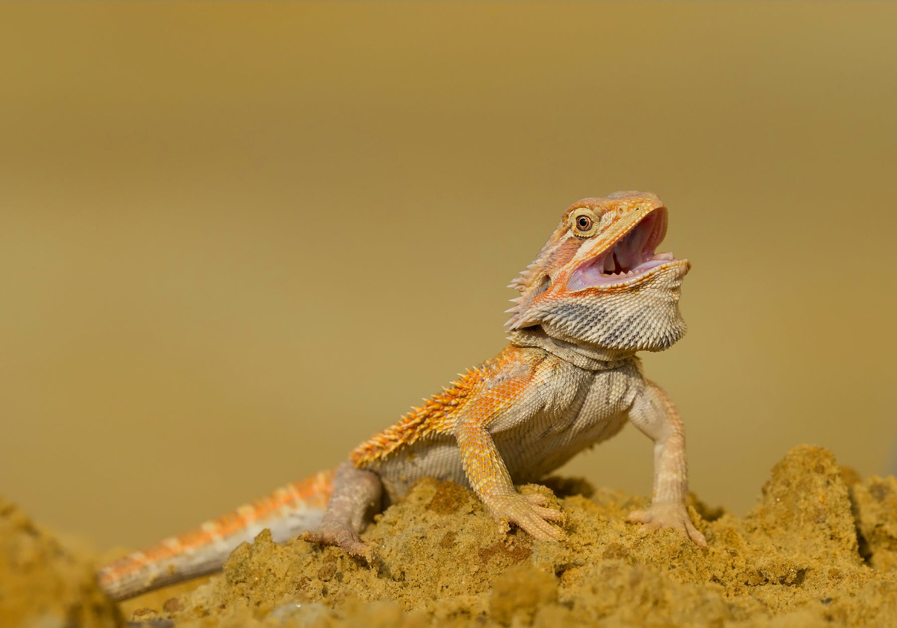 Can Bearded Dragon Eat Raw Meat?