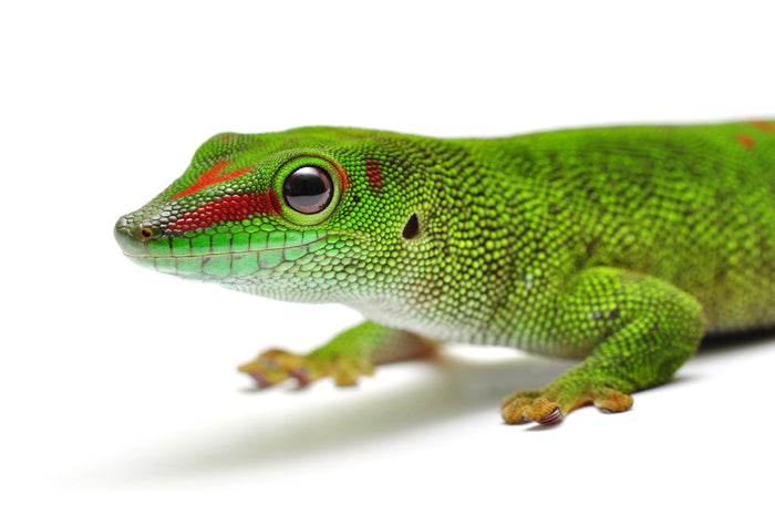 How to Care* for Your Giant Day Gecko