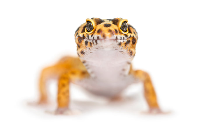 How to Care for Your Leopard Gecko