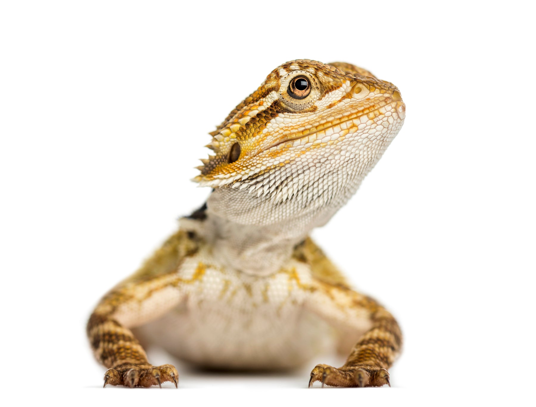 How Long Do Bearded Dragons Live?