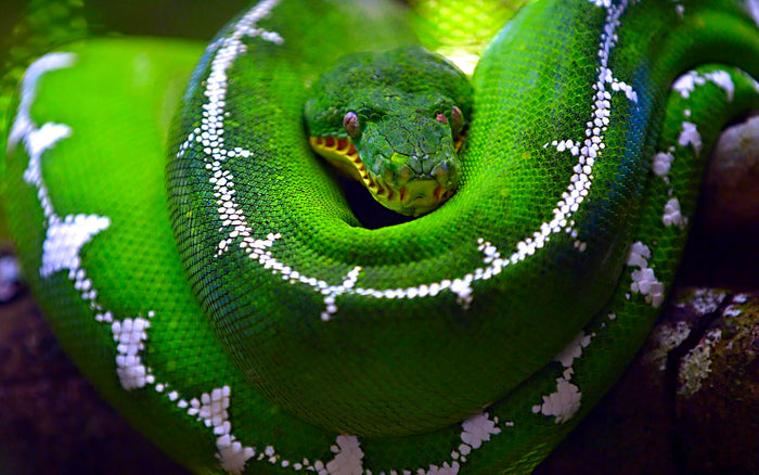 How to Care for Your Emerald Tree Boa